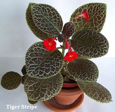 крупнолистовые комнатные растения фото и названия